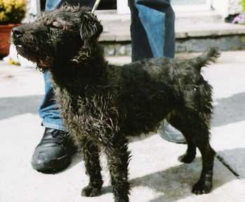 Bronson Working Terrier