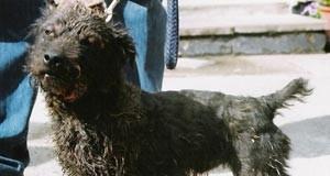 Bronson Terrier Standing