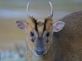 Muntjac Deer Management