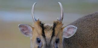 Muntjac Deer Management