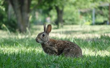 Rabbiting on