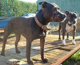 Working Staffordshire Bull Terriers