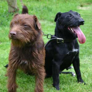 Patterdale Terriers