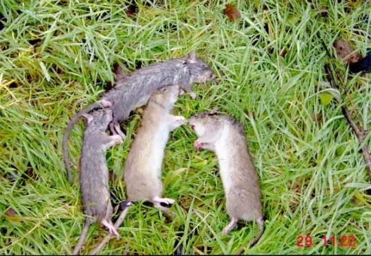 Rat Snaring Results