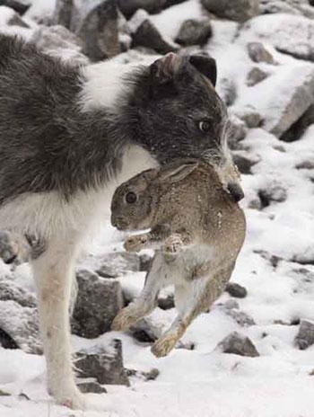 Lurcher Retrieving Rabbit