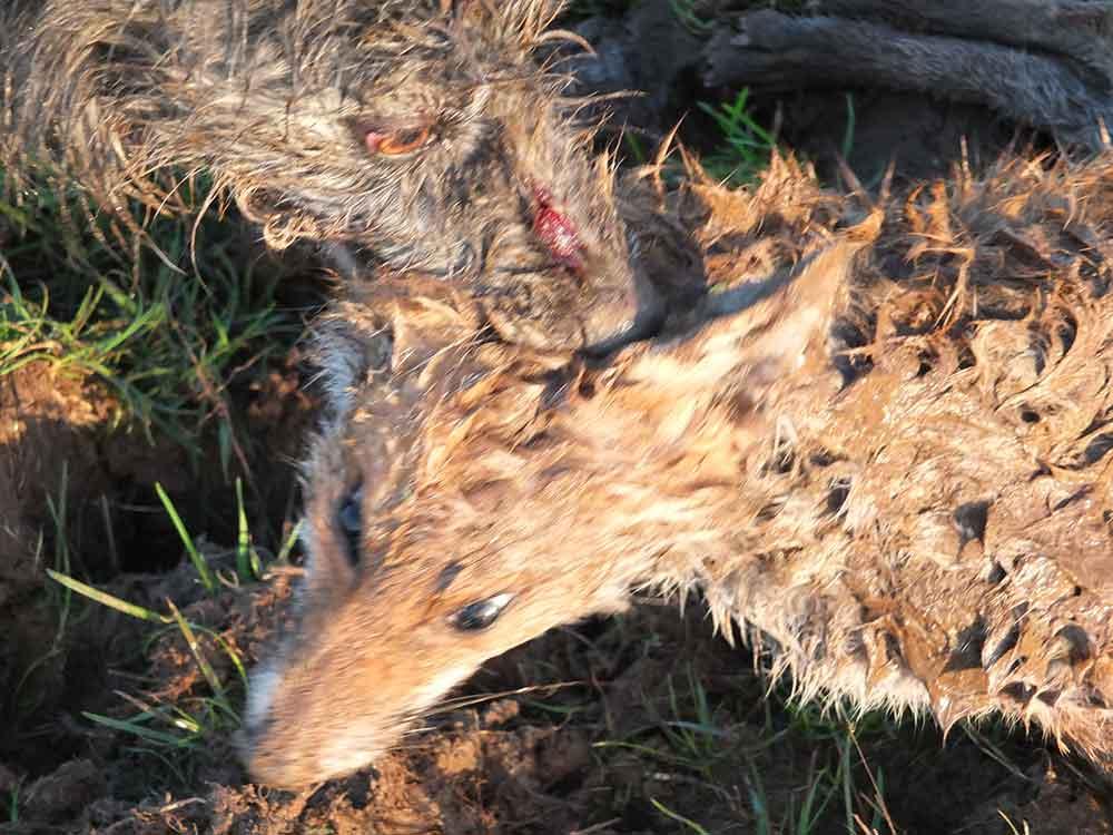 Lurcher on Fox